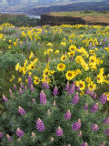Balsam Root Meadow with Lupine, Columbia River Gorge, Oregon, USA Photographic Print by Jamie &amp; Judy Wild