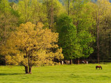 Horses Grazing in Meadow at Cades Cove, Great Smoky Mountains National Park, Tennessee, USA Photographic Print by Adam Jones