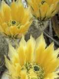 Flowers in Chihuahuan Desert, Big Bend National Park, Texas, USA Photographic Print by Scott T. Smith