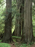 Western Red Ceders in Grove of Patriarchs, Mt. Rainier National Park, Washington, USA, Photographic Print