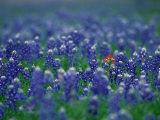 Bluebonnets, Hill Country, Texas, USA Fotografisk tryk af Dee Ann Pederson