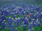 Bluebonnets, Hill Country, Texas, USA Fotodruck von Dee Ann Pederson