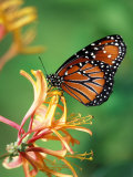 Queen Monarch resting on Spiderflower, Woodland Park Zoo, Washington, USA Photographic Print by Jamie & Judy Wild