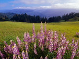 Blue-Pod Lupine in Bloom, Oregon, USA Photographic Print by Adam Jones