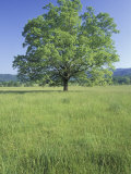 Bur Oak in Grassy Field, Great Smoky Mountains National Park, Tennessee, USA Photographic Print by Adam Jones