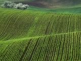 Spring Green Pea Fields, Palouse, Washington, USA Photographic Print by Terry Eggers