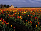 Tulip Field, Skagit Valley, Washington, USA Photographic Print by William Sutton
