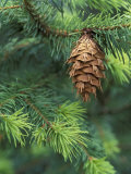 Closeup of Douglas Fir Cone, Olympic National Park, Washington, USA Photographic Print by Jamie &amp; Judy Wild