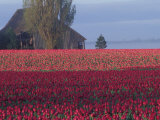 Tulip Fields and Barn, Skagit Valley, Washington, USA Photographie par William Sutton