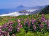 Lupine Flowers and Rugged Coastline along Southern Oregon  USA