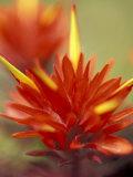 Common Red Paintbrush, Mt. Rainier National Park, Washington, USA Photographic Print by William Sutton