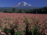 Trout Lake, Mt. Adams with Echinacea Flower Field, Washington, USA Photographic Print by Jamie & Judy Wild
