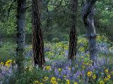 Balsam Root and Lupine Among Pacific Ponderosa Pine  Rowena  Oregon  USA