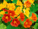 Nasturtium Flowers, Tropaeolum, Seattle, Washington, USA Photographic Print by Adam Jones