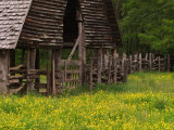 Buttercups and Cantilever Barn, Pioneer Homestead, Great Smoky Mountains National Park, N. Carolina Photographic Print by Adam Jones