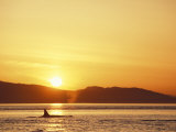 Surfacing Orca Whales, San Juan Islands, Washington, USA Photographic Print by Stuart Westmoreland