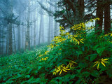 Golden-Glow Flowers, Great Smoky Mountains National Park, North Carolina, USA Photographic Print by Adam Jones