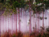 Mist Among Pine Trees at Sunrise, Everglades National Park, Florida, USA Photographic Print by Adam Jones
