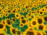 Field of Sunflowers, Frankfort, Kentucky, USA Photographic Print by Adam Jones