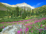 Meadow of Fireweed in Mt. Sneffels Wilderness Area, Colorado, USA Photographic Print by Julie Eggers