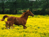 Arabian Foal and Mare Running Through Buttercup Flowers, Louisville, Kentucky, USA Lámina fotográfica por Adam Jones