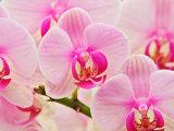 Hybrid Orchids, Selby Gardens, Sarasota, Florida, USA Fotodruck von Adam Jones