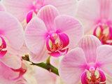 Hybrid Orchids, Selby Gardens, Sarasota, Florida, USA Photographic Print by Adam Jones