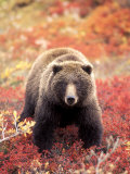 Female Grizzly Bear Foraging Red Alpine Blueberries, Denali National Park, Alaska, USA Photographic Print by Hugh Rose