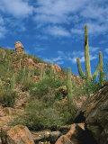 Saguaro Cactus in Sonoran Desert, Saguaro National Park, Arizona, USA Fotografisk tryk af Dee Ann Pederson