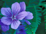 Wild Geraniums of the Aleutian Islands, Alaska, USA Photographic Print by Darrell Gulin