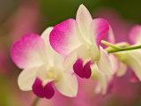 Orchids, Selby Gardens, Sarasota, Florida, USA Fotografie-Druck von Adam Jones