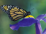 Monarch butterfly on Iris, Bloomfield Hills, Michigan, USA Photographic Print by Darrell Gulin