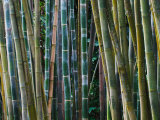 Bamboo Forest, Selby Gardens, Sarasota, Florida, USA Photographic Print by Adam Jones