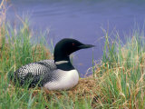 Wonder Lake and Common Loon on Nest, Denali National Park, Alaska, USA Photographie par Darrell Gulin