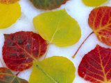 Colorful Aspen Leaves on Snow, Colorado, USA Photographic Print by Julie Eggers