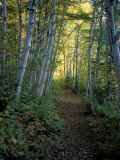 White Birch and Yellow Leaves in the White Mountains, New Hampshire, USA Fotografie-Druck von Jerry & Marcy Monkman