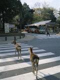 Deer Crossing Pedestrian Crossing, Nara, Honshu, Japan Photographic Print