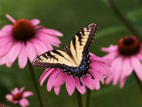 Tiger Swallowtail Butterfly on Purple Coneflower, Kentucky, USA Photographic Print by Adam Jones