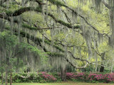 Live Oak Tree Draped with Spanish Moss, Savannah, Georgia, USA Lámina fotográfica por Adam Jones