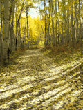 Aspen, Dirt Road, Kebler Pass, Colorado, USA Photographic Print by Darrell Gulin
