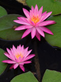 Hybrid Water Lily, Louisville, Kentucky, USA Photographic Print by Adam Jones