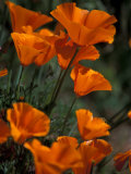 California Poppies, Antelope Valley, California, USA Photographic Print by Jamie & Judy Wild