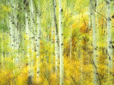 Aspens in Fall, Kebler Pass, Colorado, USA Photographic Print by Darrell Gulin