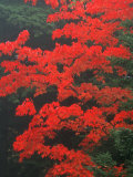 Red Foliage in Acadia National Park, Maine, USA Photographic Print by Joanne Wells