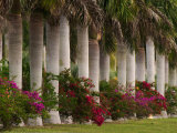 Row of Stately Cuban Royal Palms, Bougainvilleas Flowers, Miami, Florida, USA Photographic Print by Adam Jones