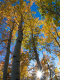 Aspen Trees with Sunlight Coming Through, Alaska, USA Photographic Print by Julie Eggers