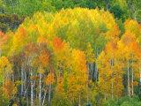 Autumn Aspens in Kebler Pass, Colorado, USA Fotografisk tryk af Julie Eggers