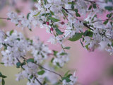 Weeping Cherry Tree Blossoms, Louisville, Kentucky, USA Photographic Print by Adam Jones