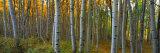 Aspen Grove, Kebler Pass, Colorado, USA Fotografie-Druck von Terry Eggers