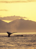 Humpback Whale at Sunset, Inside Passage, Alaska, USA Photographic Print by Stuart Westmoreland
